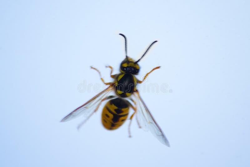 abeille de miel sur la fenêtre image libre de droits