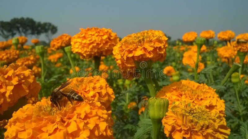 Abeille de miel sur la fleur image libre de droits