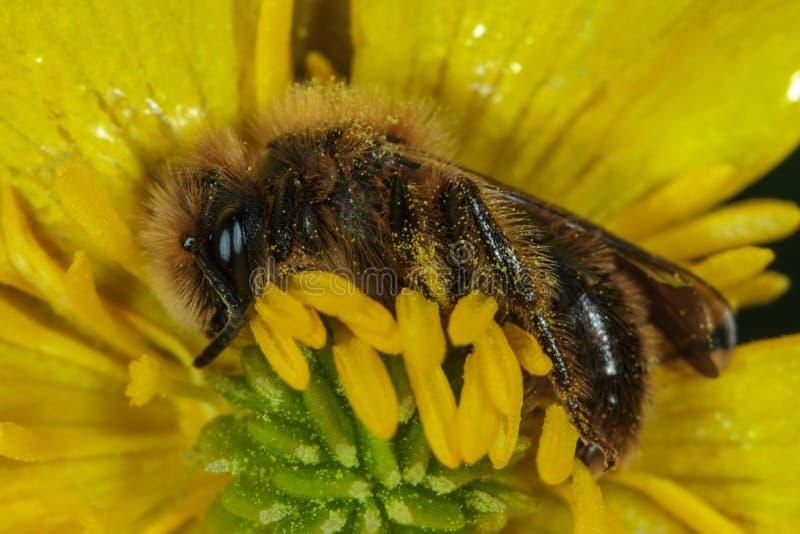 Abeille de miel sur la fleur jaune images libres de droits