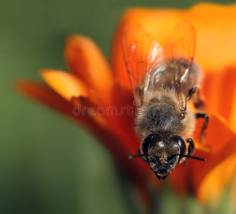 Abeille de miel sur la fleur orange photos libres de droits