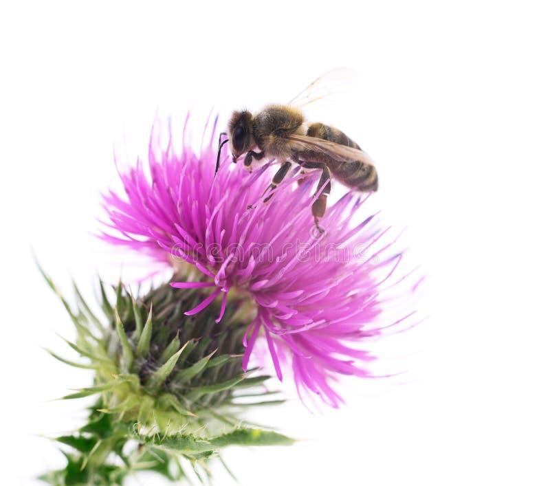 Abeille de miel sur la fleur rose image stock