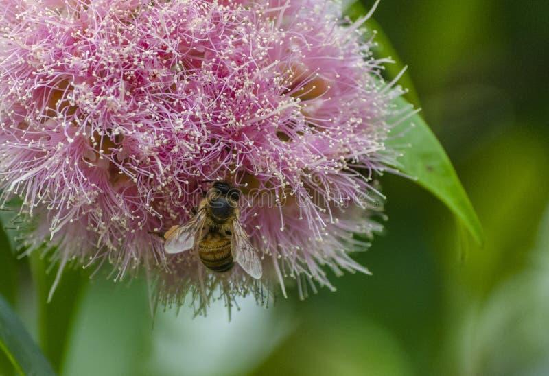 Abeille de miel sur une fleur rose photos libres de droits