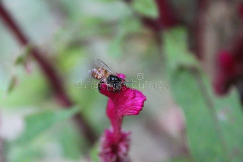 Abeille de miel sur une fleur rose images stock