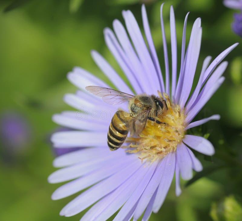 Abeille de plan rapproché et fleur pourpre photos libres de droits