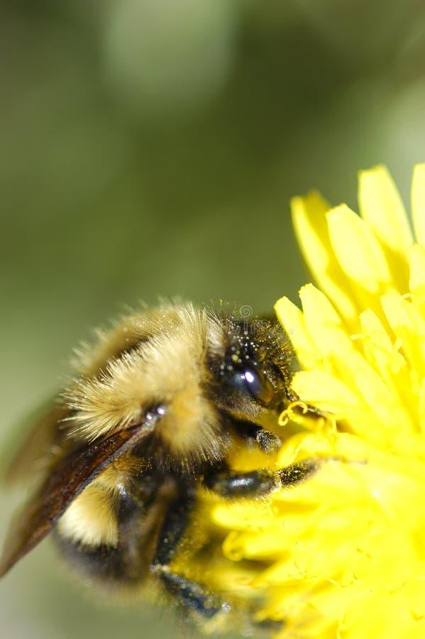 Abeille de pollen photos libres de droits