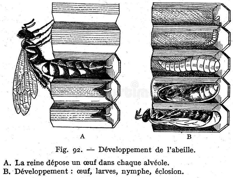 Abeille-développement Free Public Domain Cc0 Image