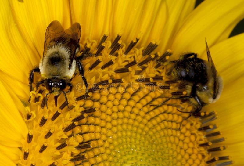 Abeille deux pollinisant une fleur photos libres de droits