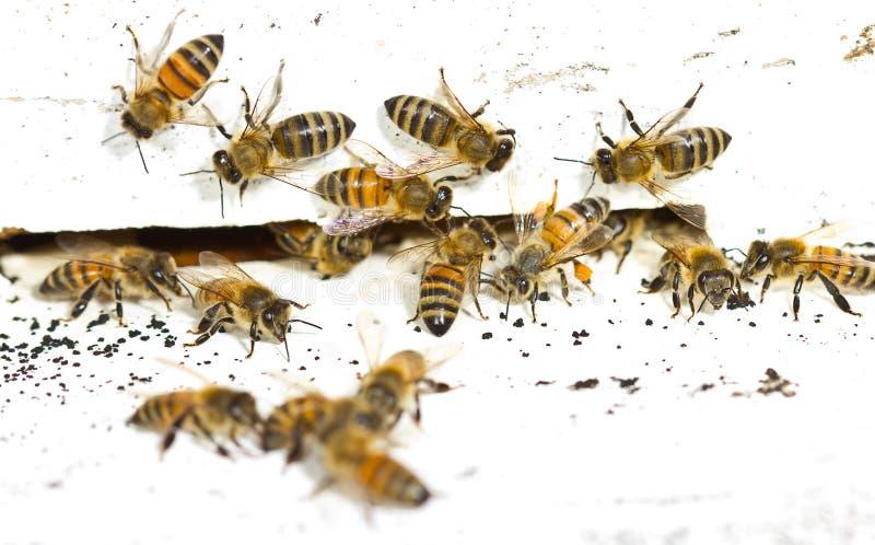 Abeille devant le cadre de ruche photos libres de droits