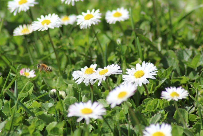 Abeille di volo dell'ape fotografia stock