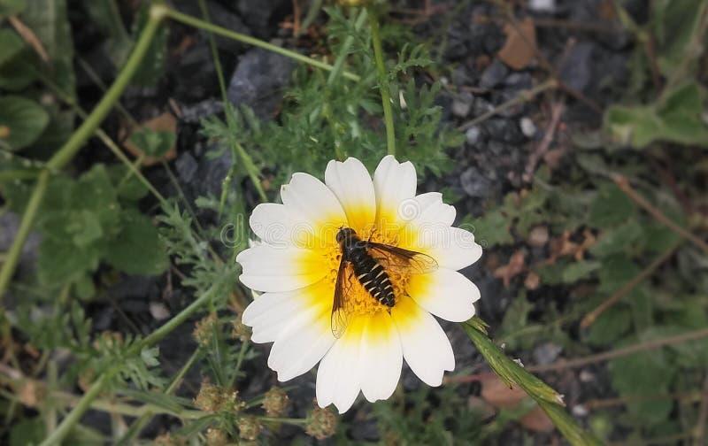 Abeille en fleur photographie stock