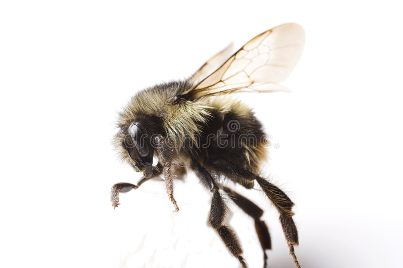 Download Abeille Essayant De Marcher Image stock - Image du pattes, honeycomb: 726363