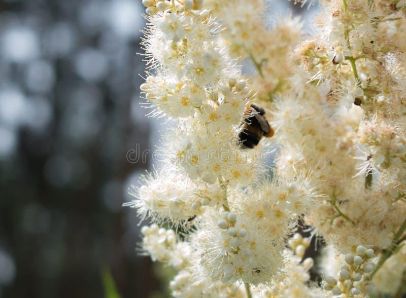Abeille et fleur images libres de droits