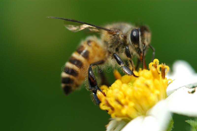 Abeille et fleur photographie stock libre de droits