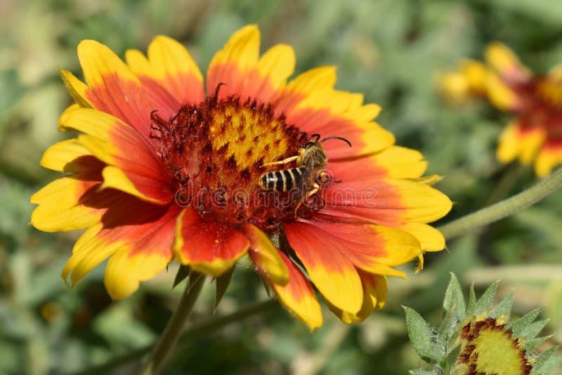 Abeille et fleur photos libres de droits
