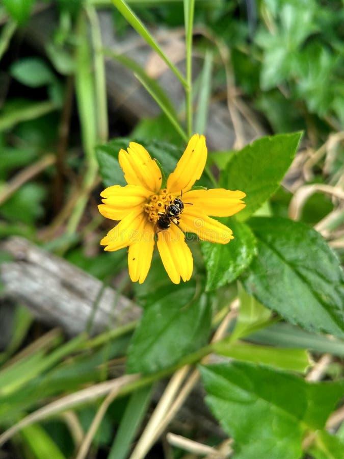 Abeille et fleur de Riam Kanan photos libres de droits