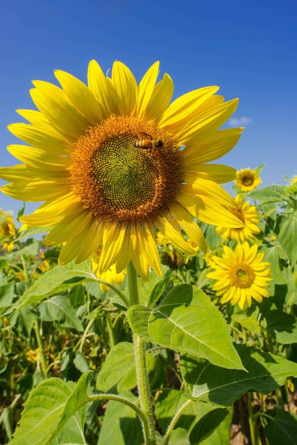 abeille et fleur de Sun photo stock