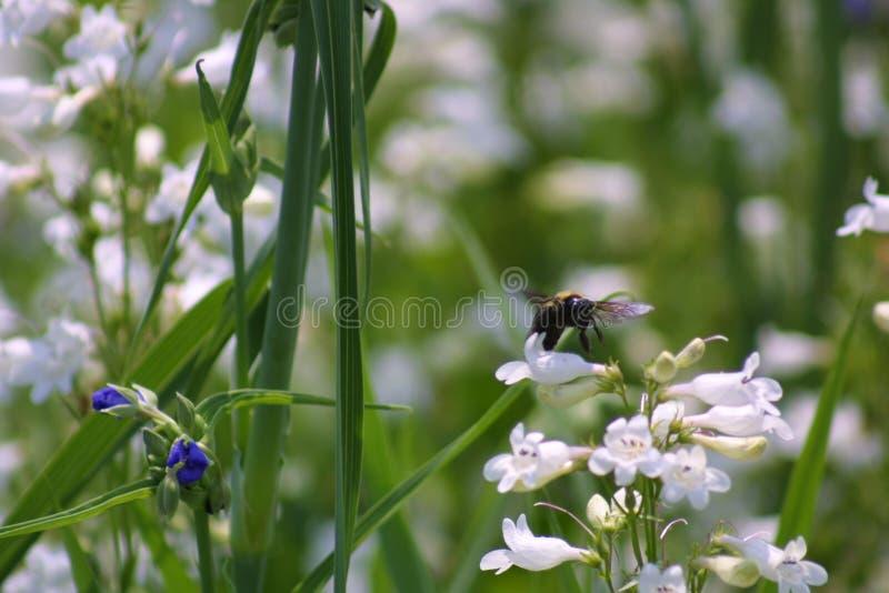 Abeille et fleurs 2019 photos stock