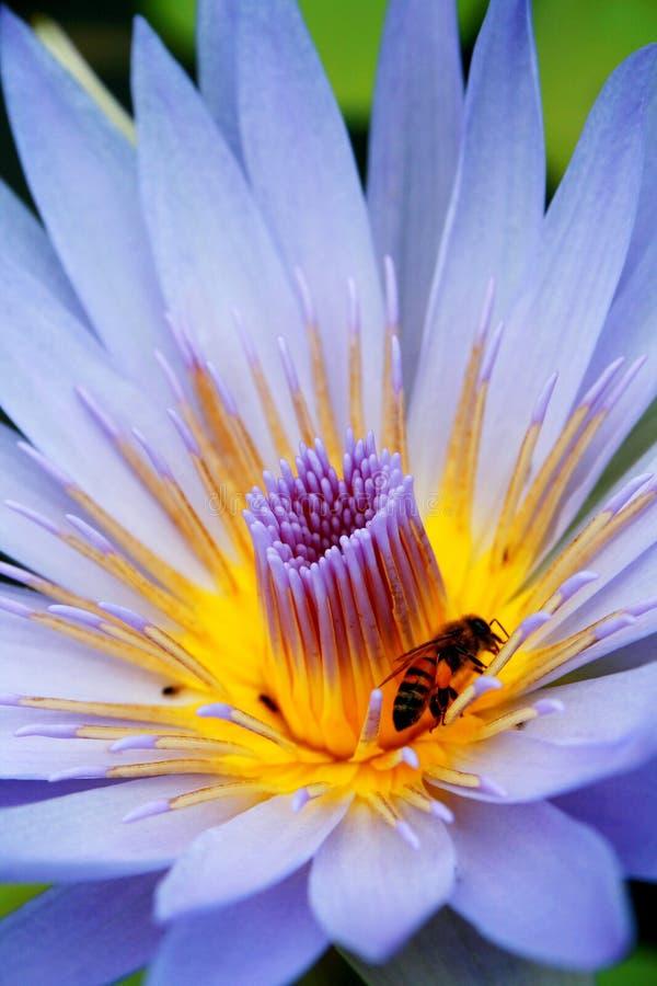 Abeille et lotus photo stock