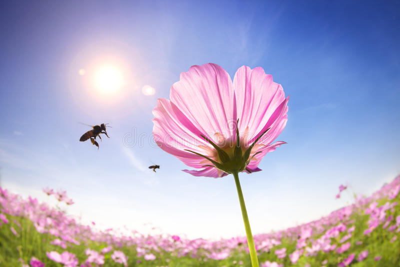 Abeille et marguerites roses sur le fond de lumière du soleil photographie stock