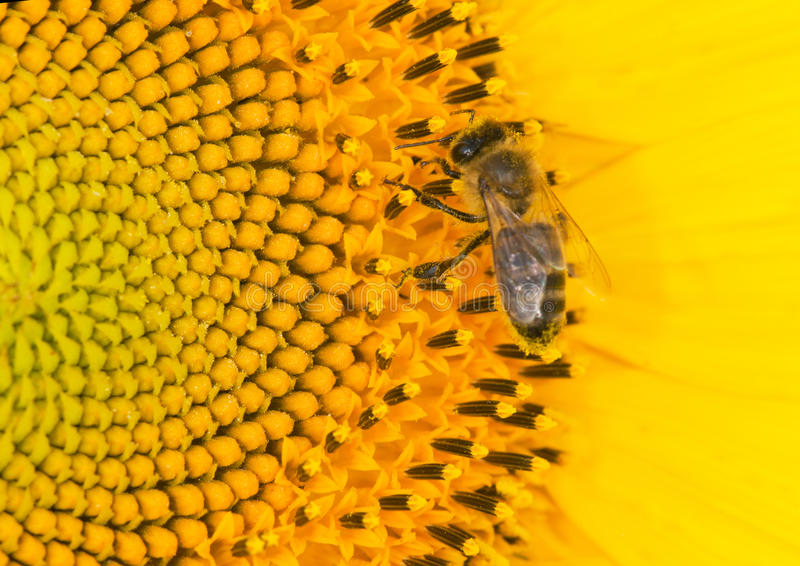 Abeille et tournesol photos stock