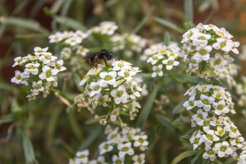 Abeille et une fleur image stock