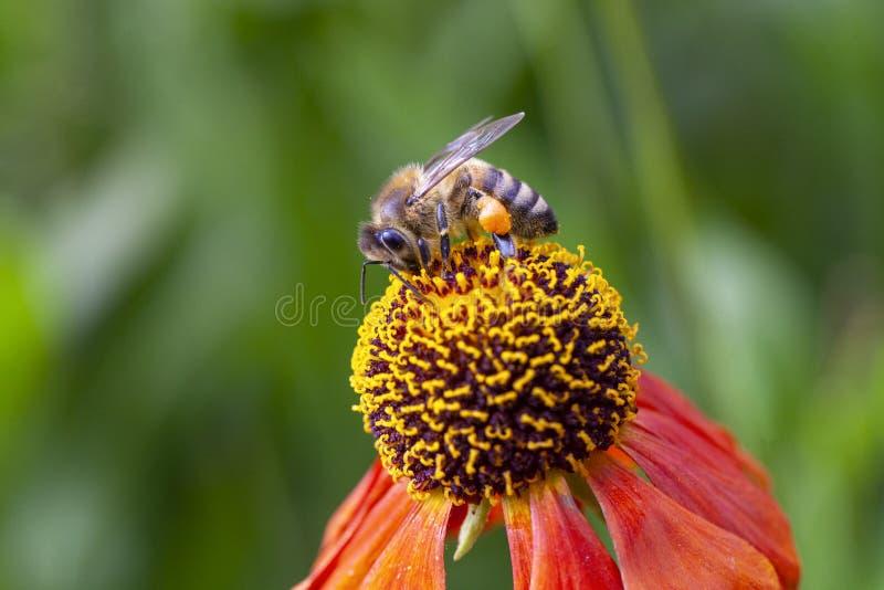 Abeille européenne sur une fleur colorée photo stock