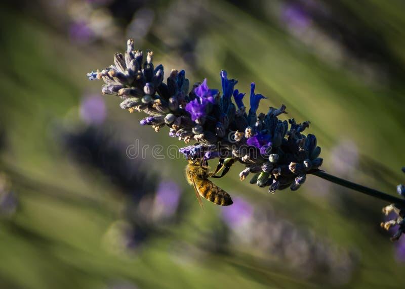 Abeille extrayant le nectar à partir d'une fleur de lavande photos libres de droits