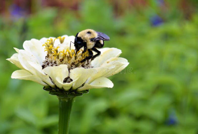 Abeille fonctionnante dure de miel photographie stock libre de droits