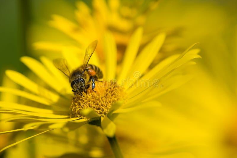 Abeille intime pollinisant les fleurs jaunes au printemps images stock