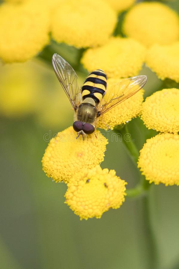 Abeille jaune et noire se reposant sur la fleur jaune photographie stock