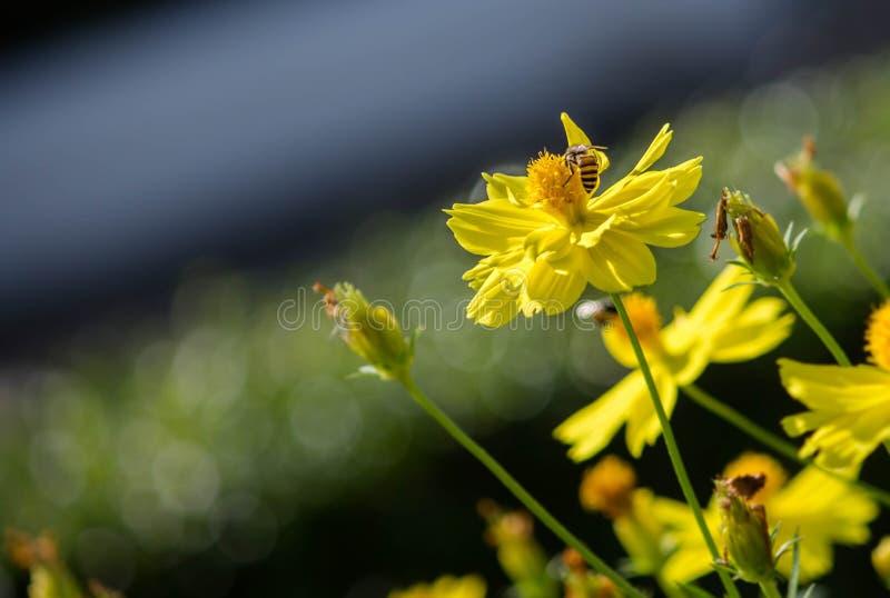 Abeille jaune photo stock