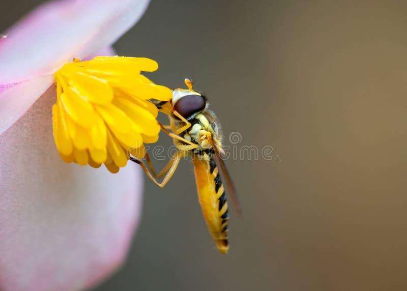 Abeille mangeant le pollen photos libres de droits