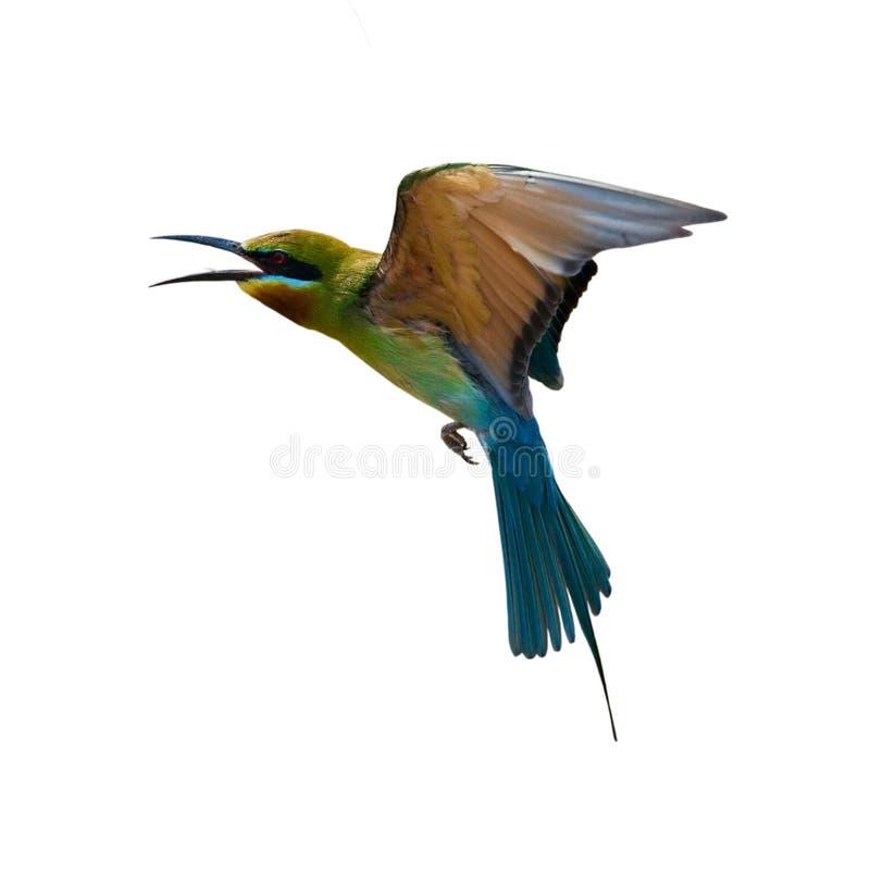 Abeille-mangeur Bleu-coupé la queue photo stock