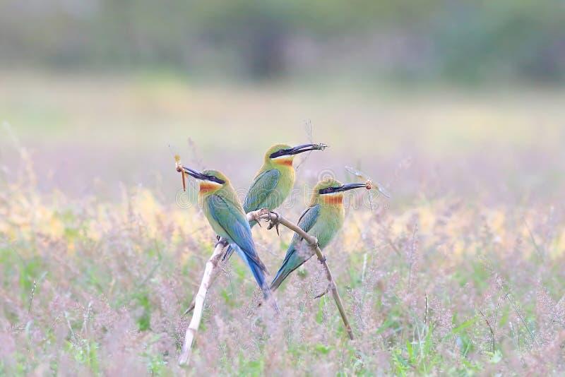 Abeille-mangeur Bleu-coupé la queue sur les branches en bambou sèches photo stock
