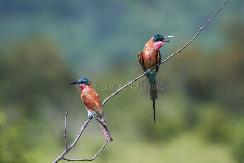 Abeille-mangeur du sud de carmin en parc national de Kruger, Afrique du Sud image stock
