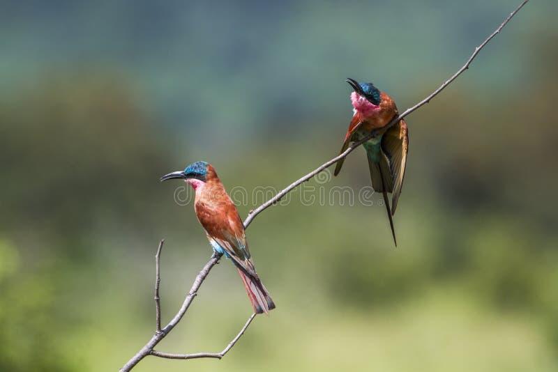 Abeille-mangeur du sud de carmin en parc national de Kruger, Afrique du Sud photos libres de droits