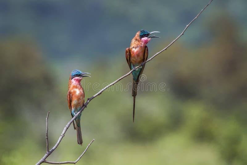 Abeille-mangeur du sud de carmin en parc national de Kruger, Afrique du Sud photo libre de droits