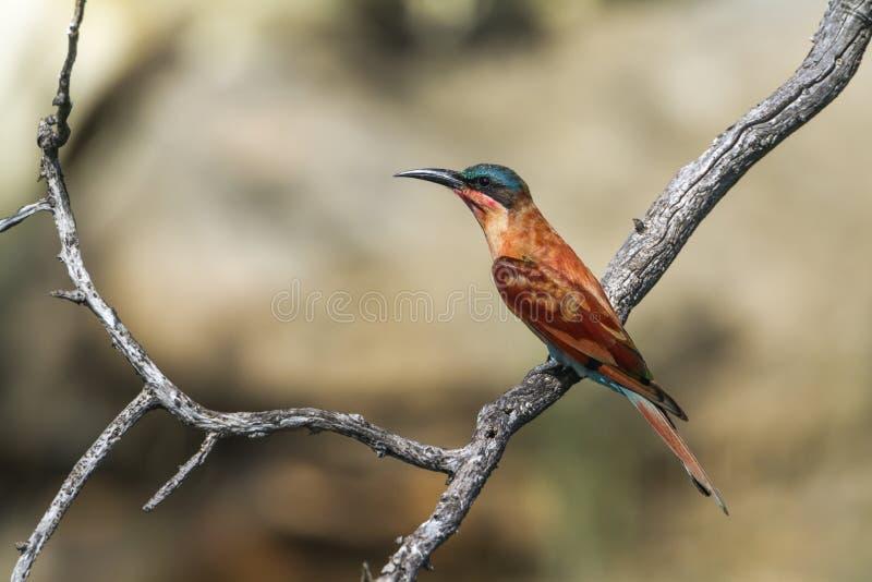 Abeille-mangeur du sud de carmin en parc national de Mapungubwe, sud Af photographie stock