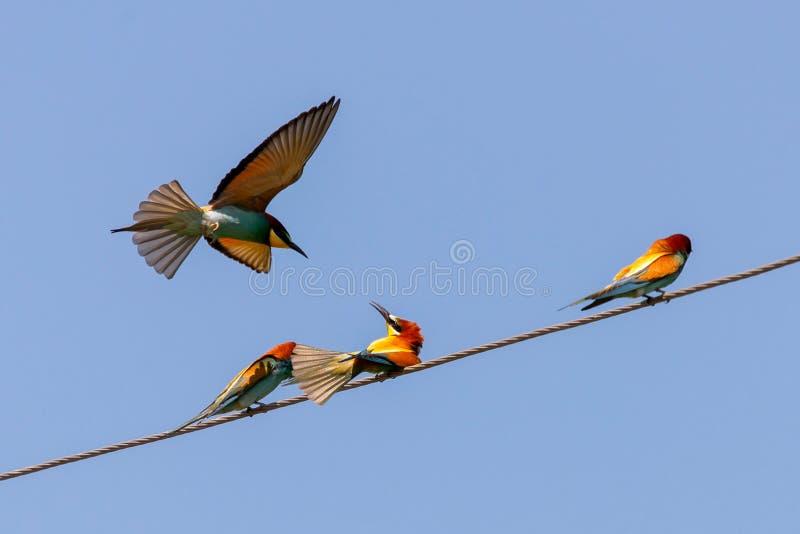 Abeille-mangeur, oiseaux européens d'abeille-mangeur sur le fil photographie stock