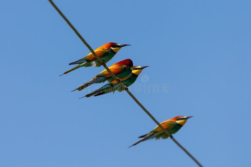 Abeille-mangeur, oiseaux européens d'abeille-mangeur sur le fil photographie stock libre de droits