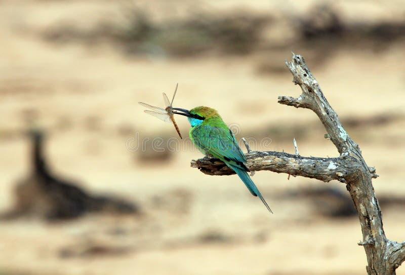 Abeille-mangeur vert avec la libellule image libre de droits