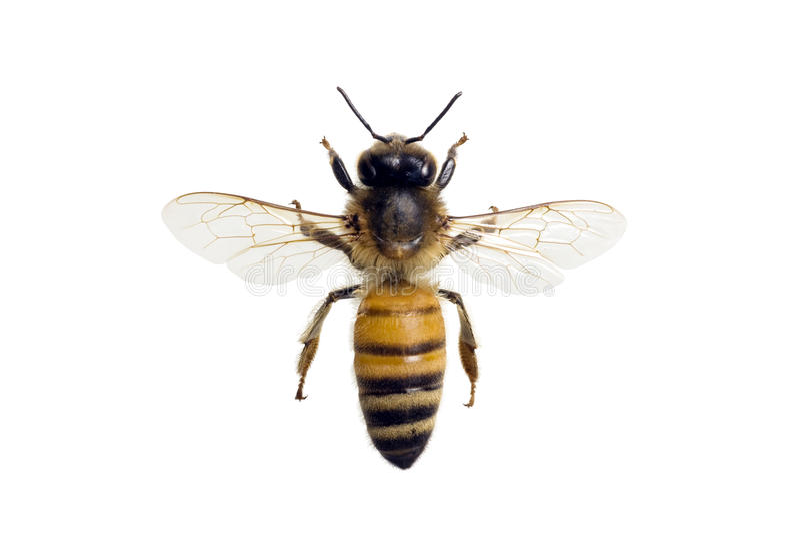 Abeille, mellifera d'api image libre de droits