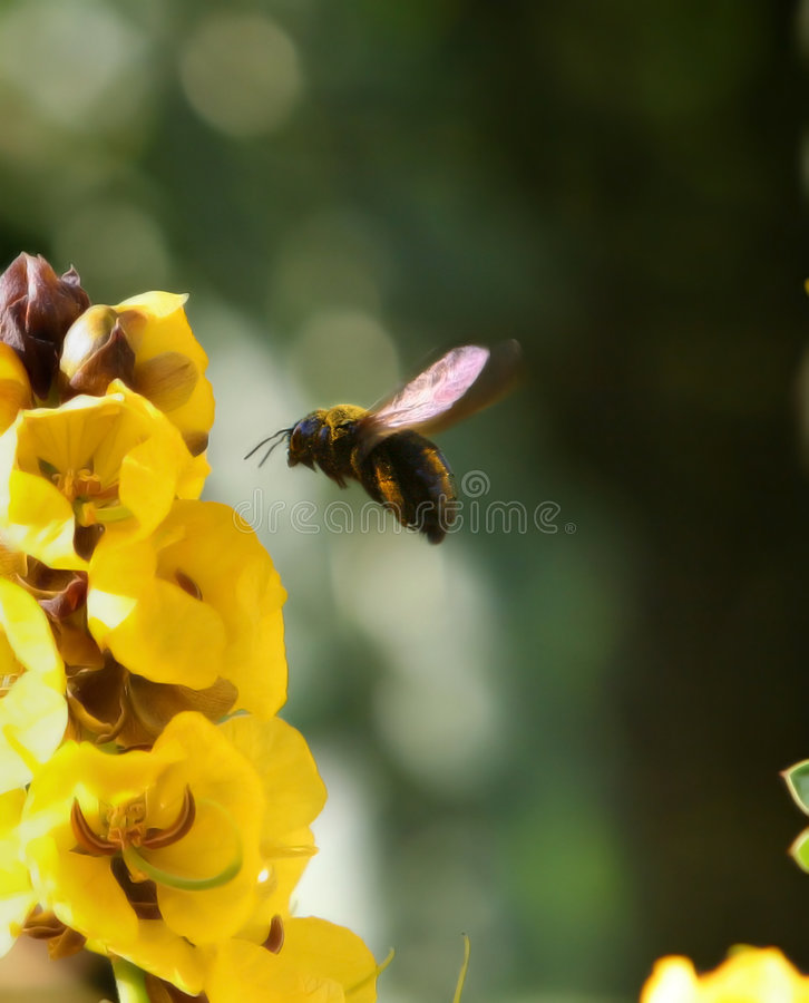 Abeille molle photographie stock