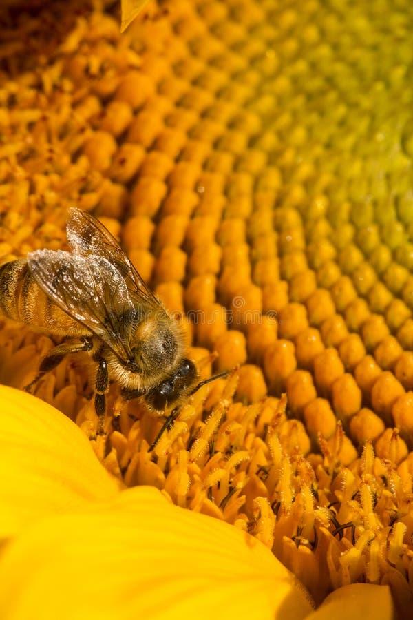 Abeille occidentale de miel forageant sur le disque d'un tournesol image libre de droits