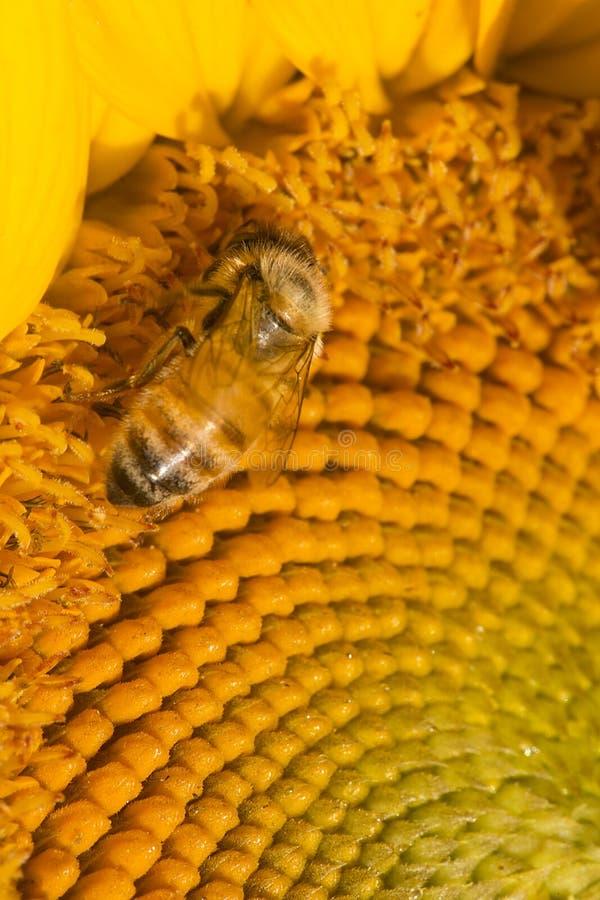 Abeille occidentale de miel forageant sur le disque d'un tournesol photos stock