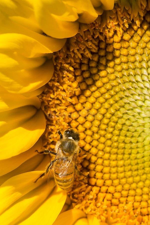 Abeille occidentale de miel forageant sur le disque d'un tournesol photo stock