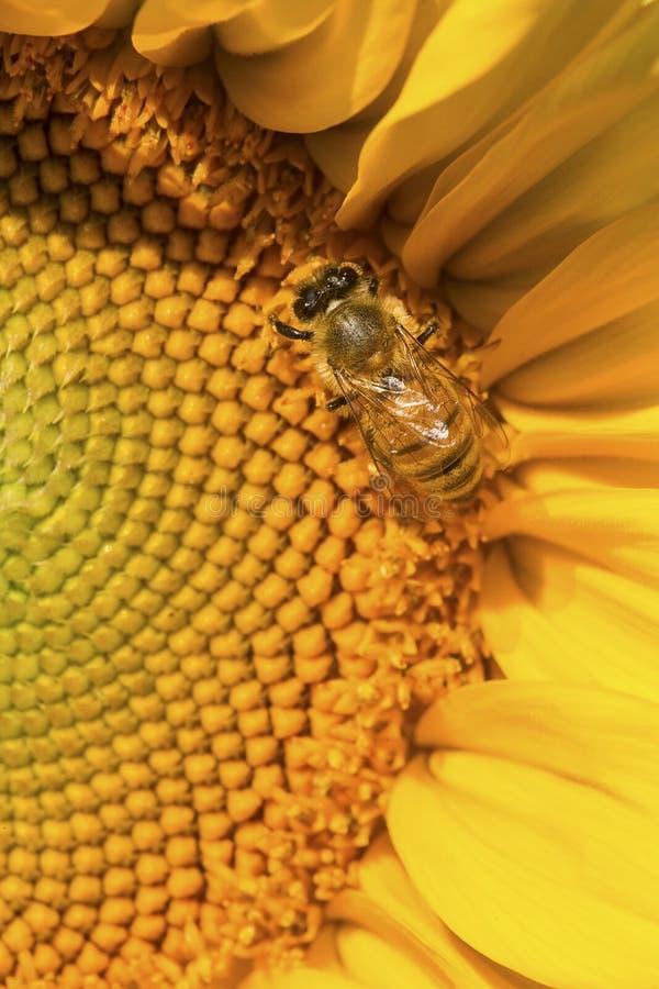 Abeille occidentale de miel forageant sur le disque d'un tournesol photo libre de droits