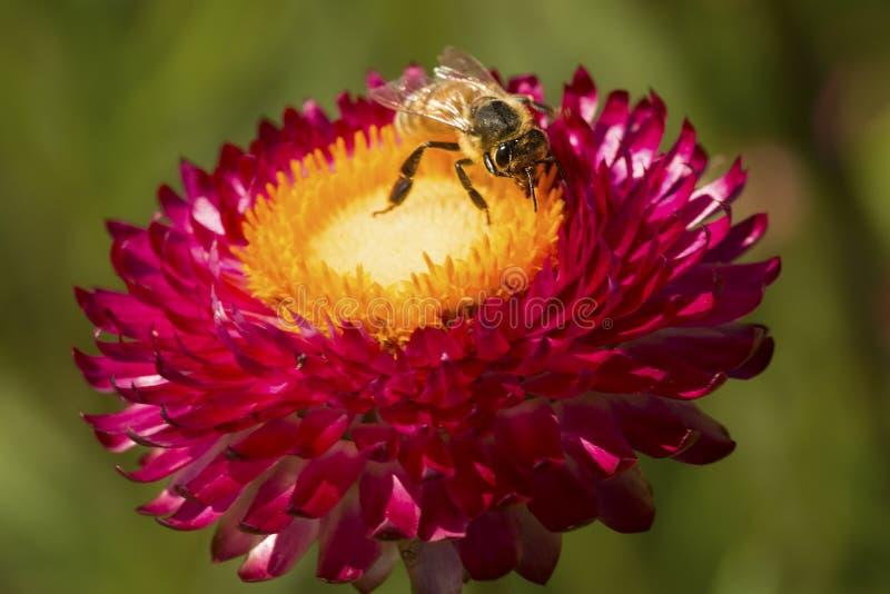 Abeille occidentale de miel forageant sur une fleur éternelle de marguerite photo libre de droits