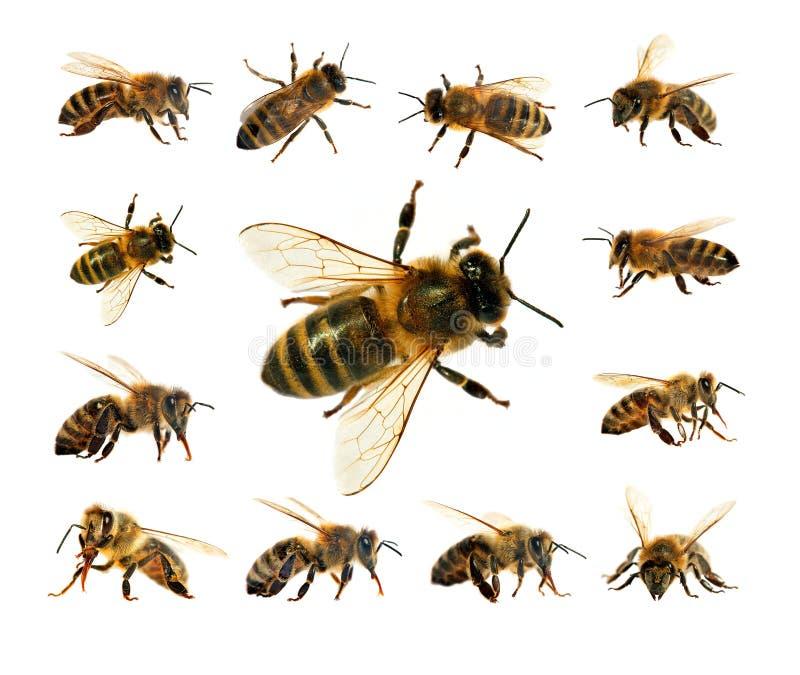 Abeille ou abeille d'isolement sur le fond blanc image stock