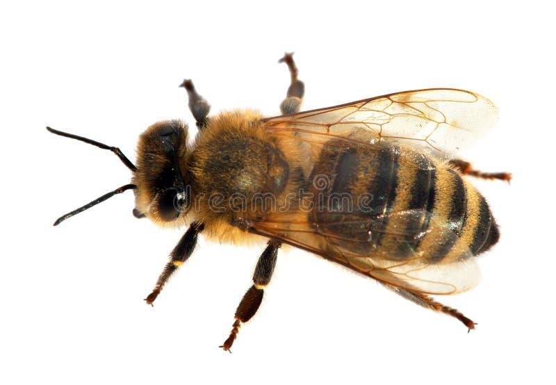 Abeille ou abeille dans les api latins Mellifera photo libre de droits